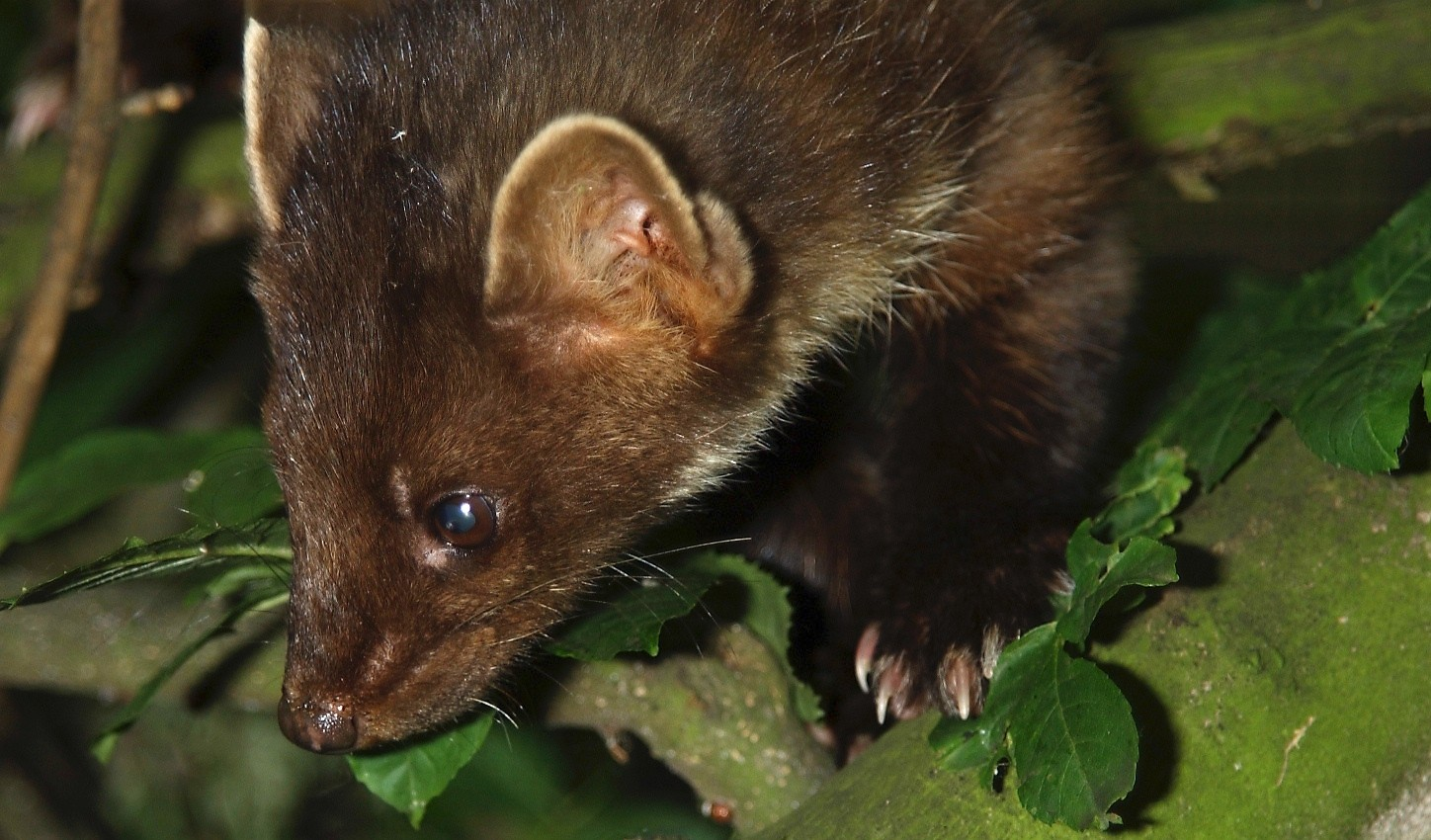 Free Pictures - Download Beautiful Photos of Wild Animals Pictures of a pine marten