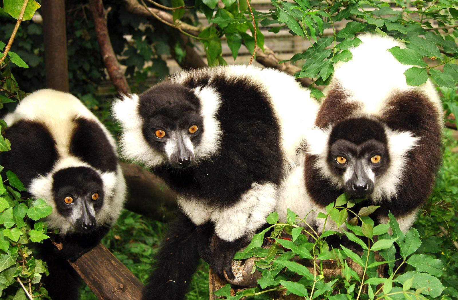 02 Thee Lemurs A4