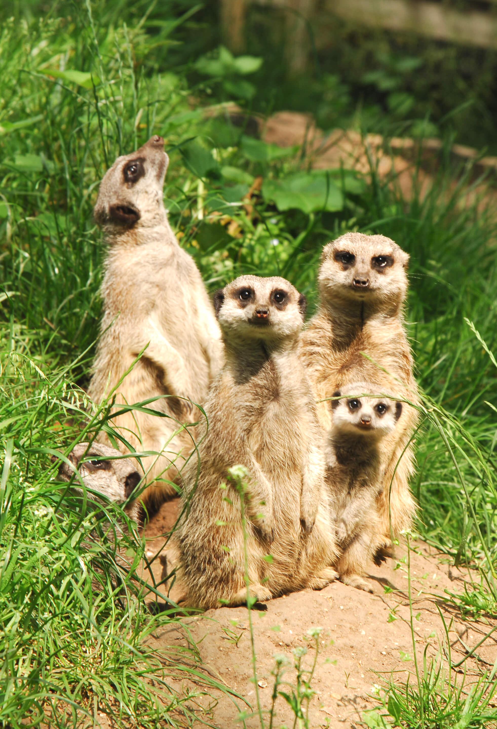 05 Meerkat family