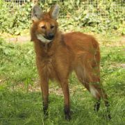 05 Ruby Maned Wolf