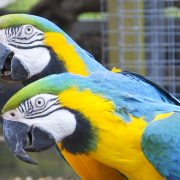 09 Blue & Gold  Macaw