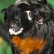White Lip Tamarin with baby