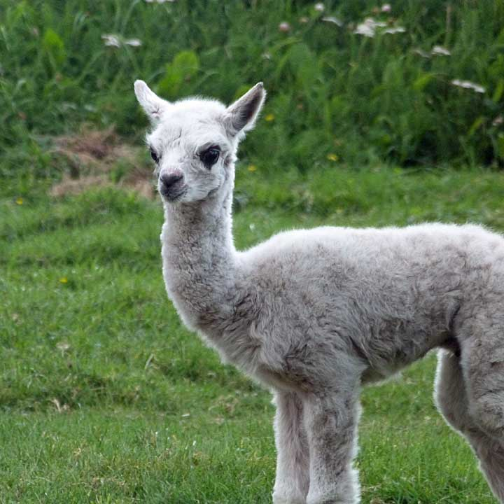 island alpaca has for sale alpaca of superior fiber quality conformation excellent genetic lines with a farm store with alpaca clothing on sale