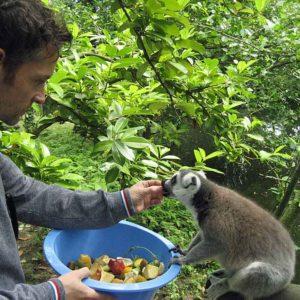 lemurs-feeding